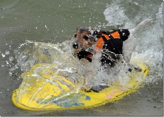 dog-surf-17