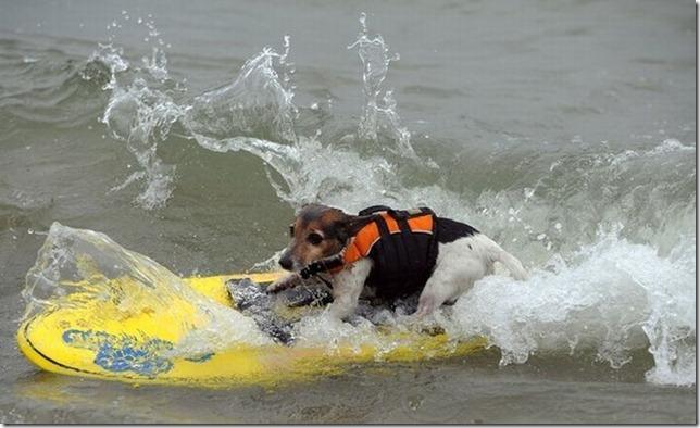 dog-surf-19
