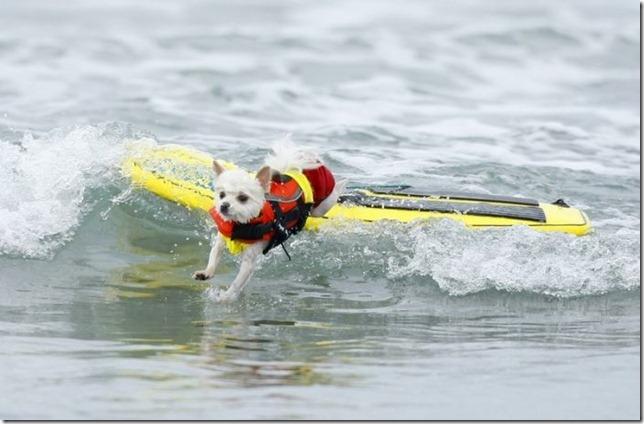 dog-surf-4